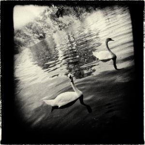Swan Ruhr II - The revenge of the swans